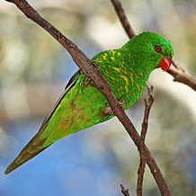 300px-Lorikeet-scaly-breasted